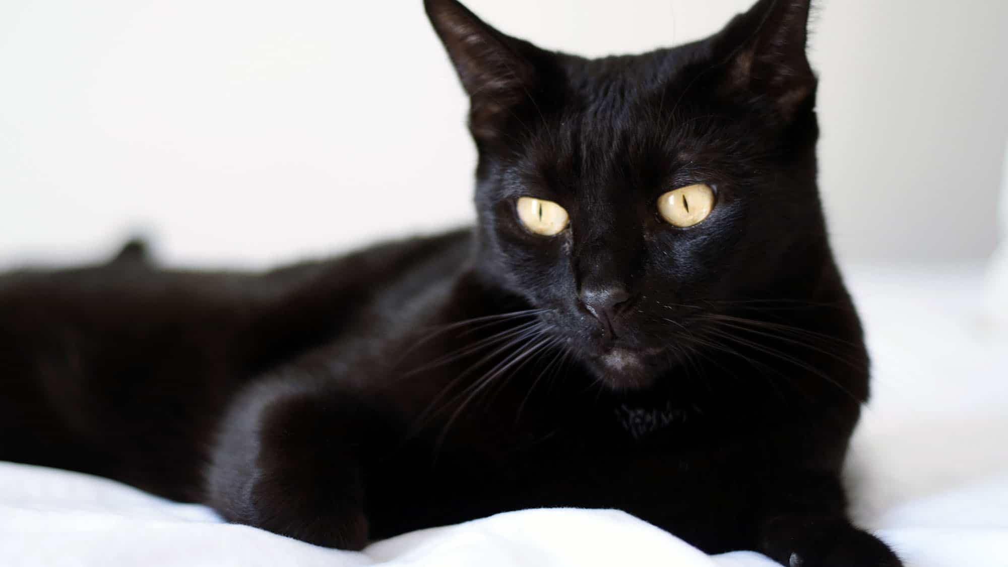 Bombay cat - 1