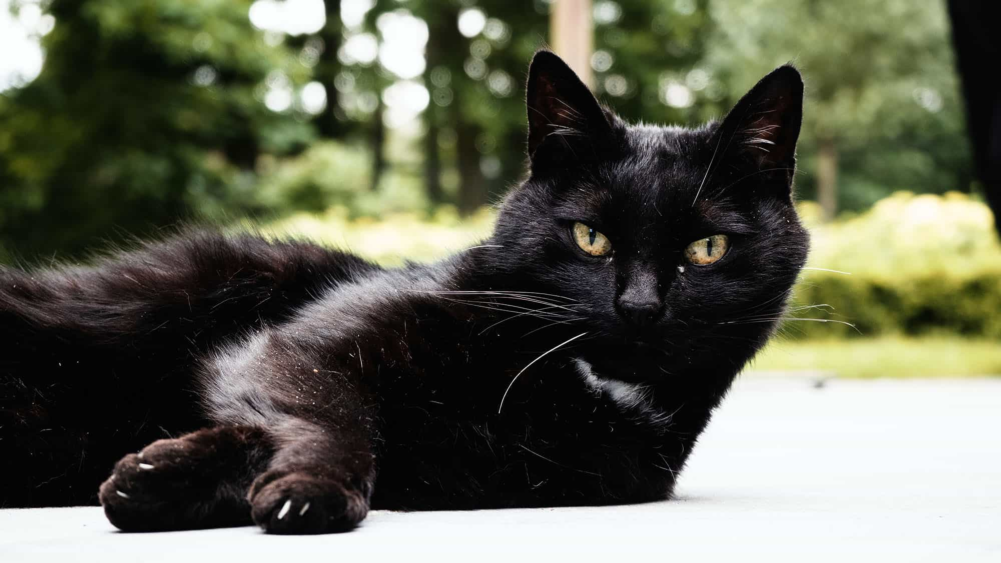 Bombay cat - 3