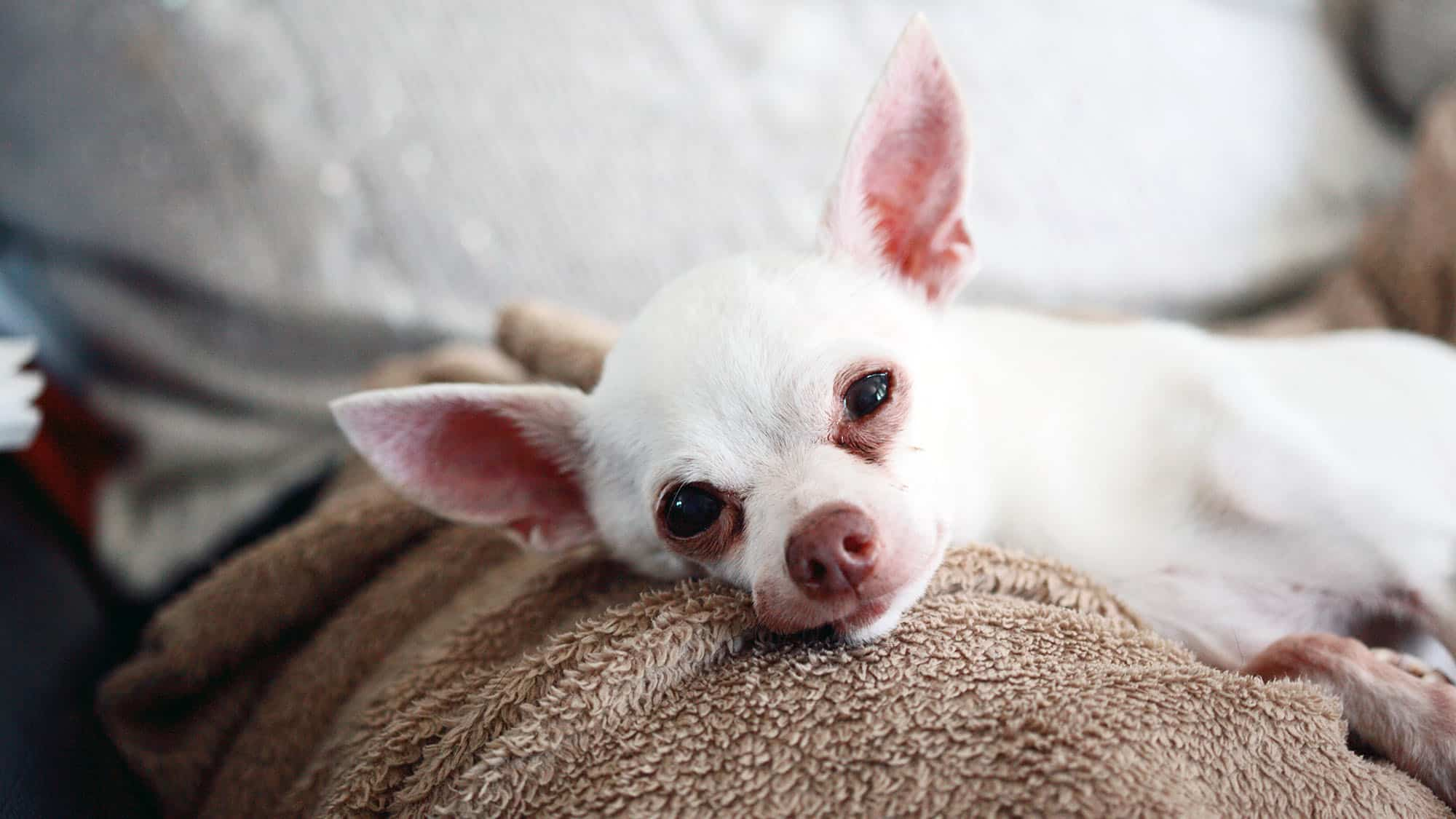 Chihuahua - 1