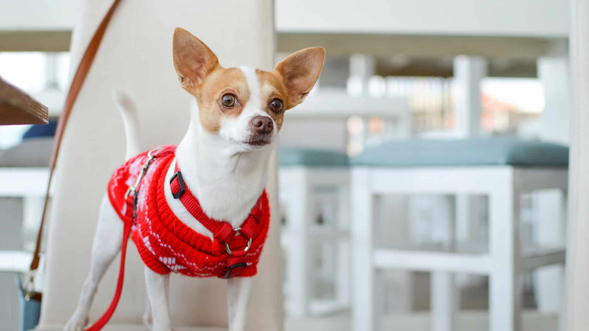 Chihuahua - 3