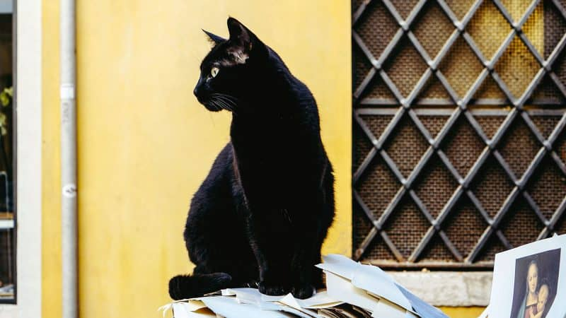 Bombay Cat: Color, Lifespan, Characteristics & Facts