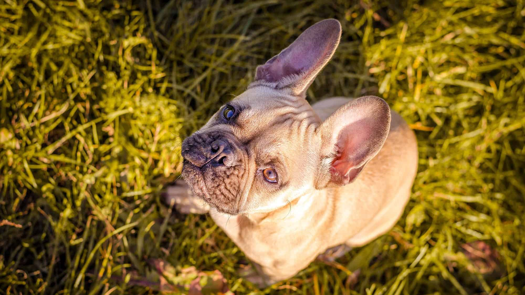 CyberPet - French bulldog