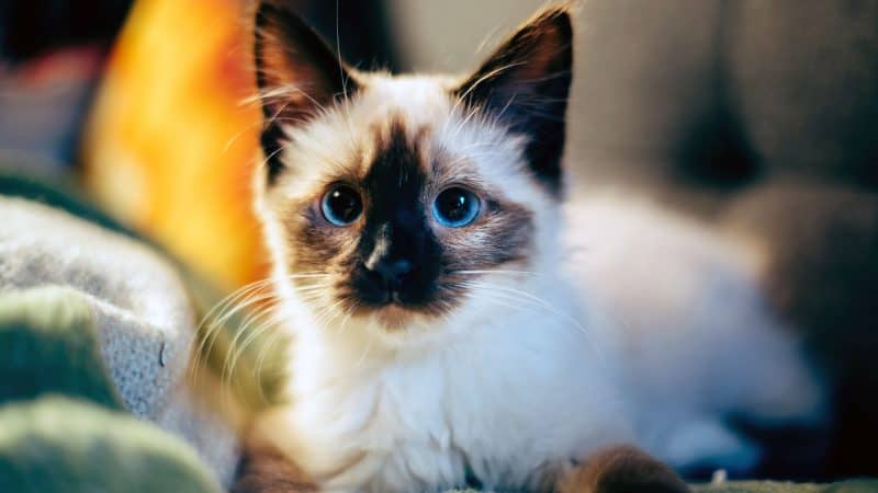 Himalayan Cat: Color, Lifespan, Characteristics & Facts