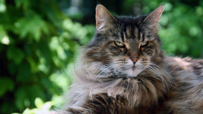 Maine Coon Cat: Color, Lifespan, Characteristics & Facts
