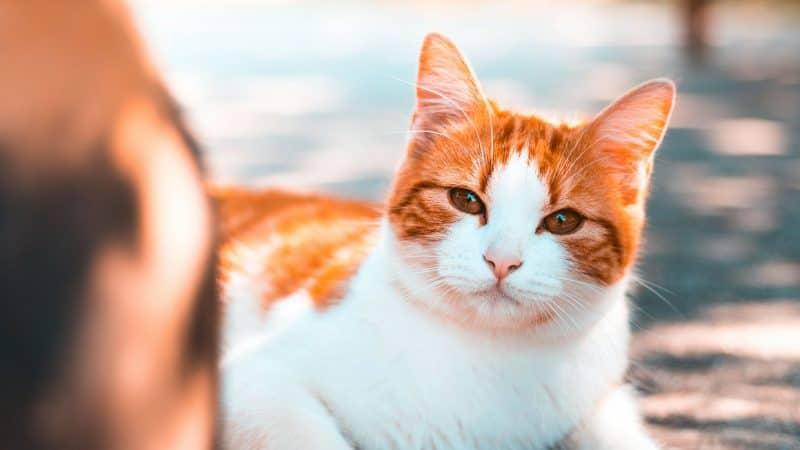 CyberPet - Manx cat