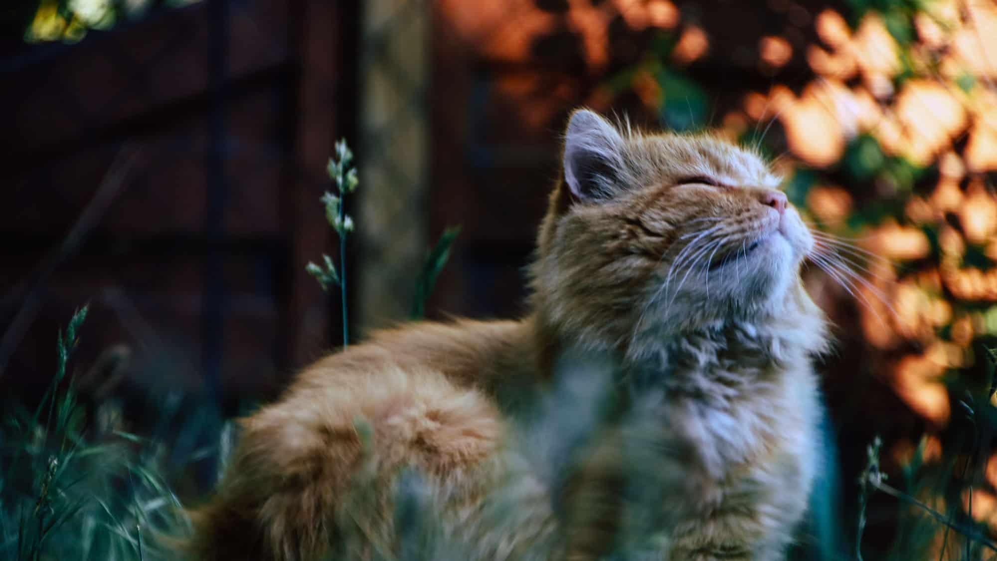 CyberPet - Siberian cat