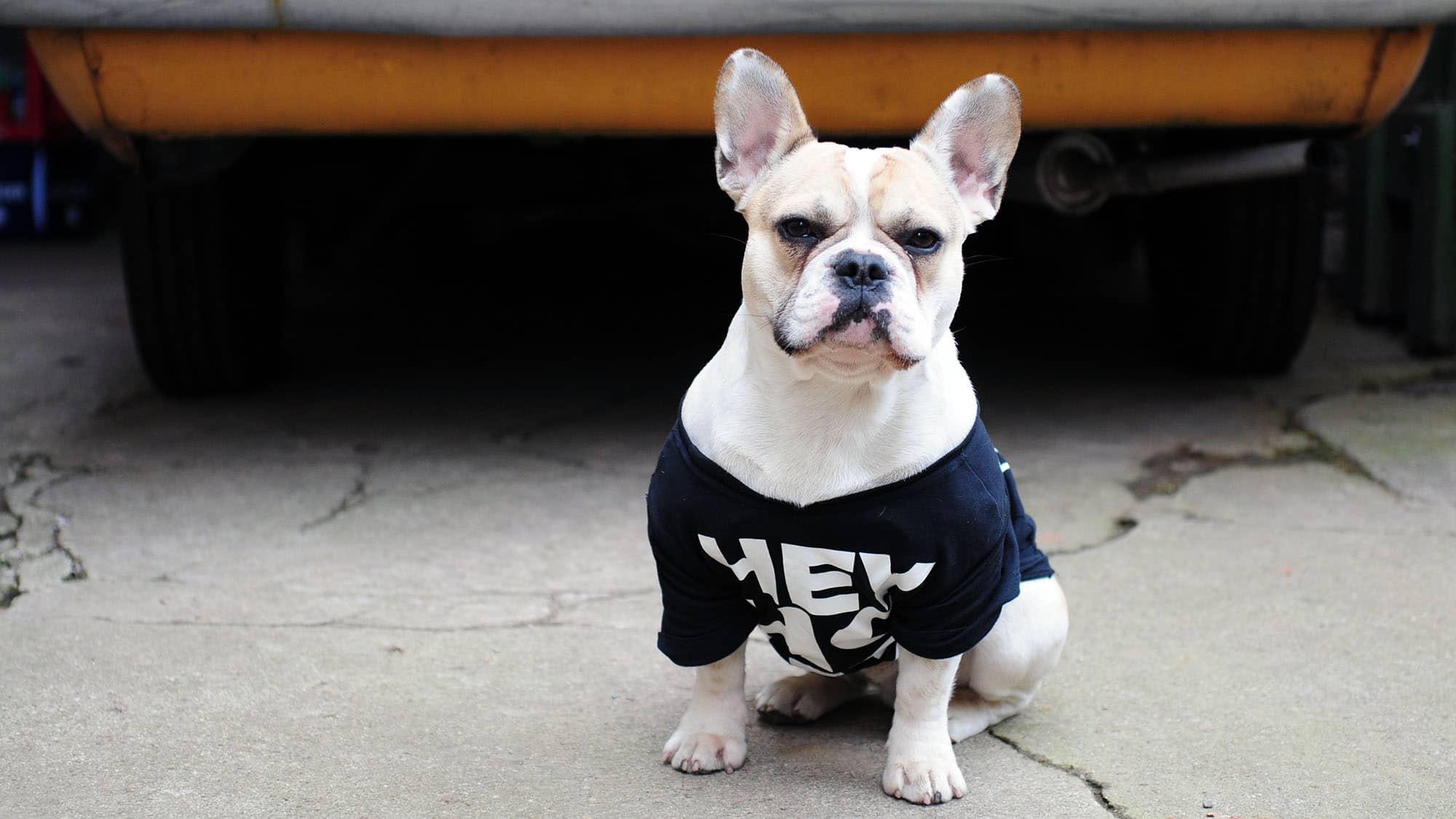 French bulldog - 1