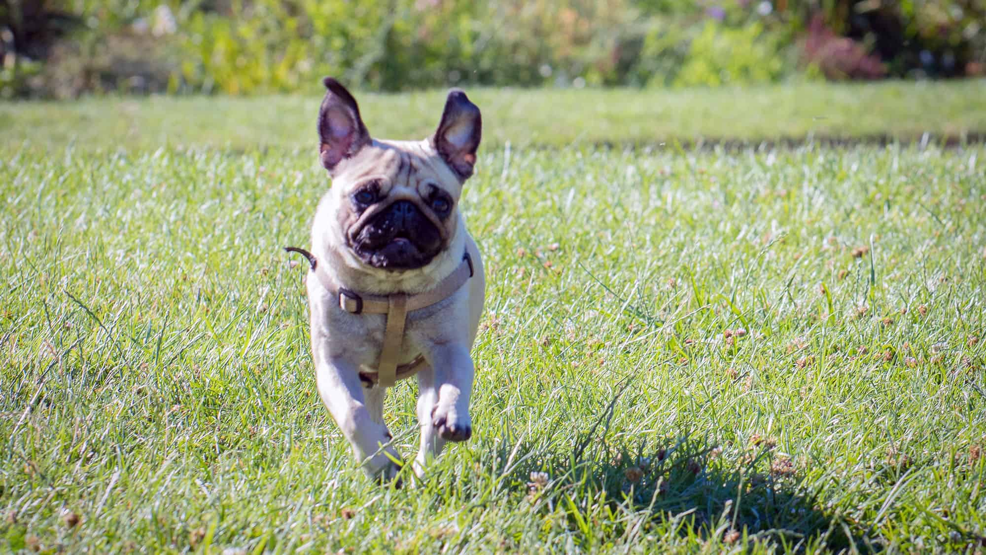 French bulldog - 3