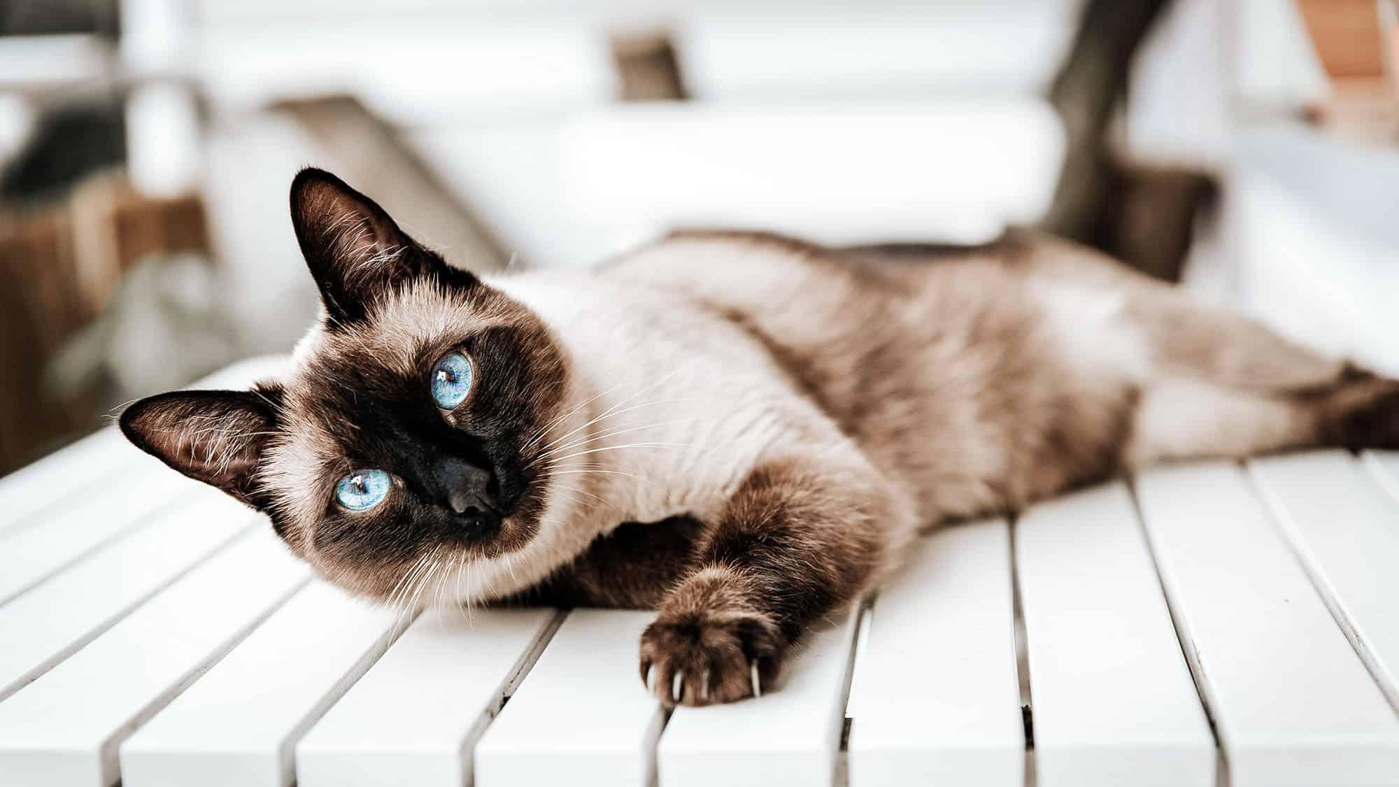Himalayan cat - 1