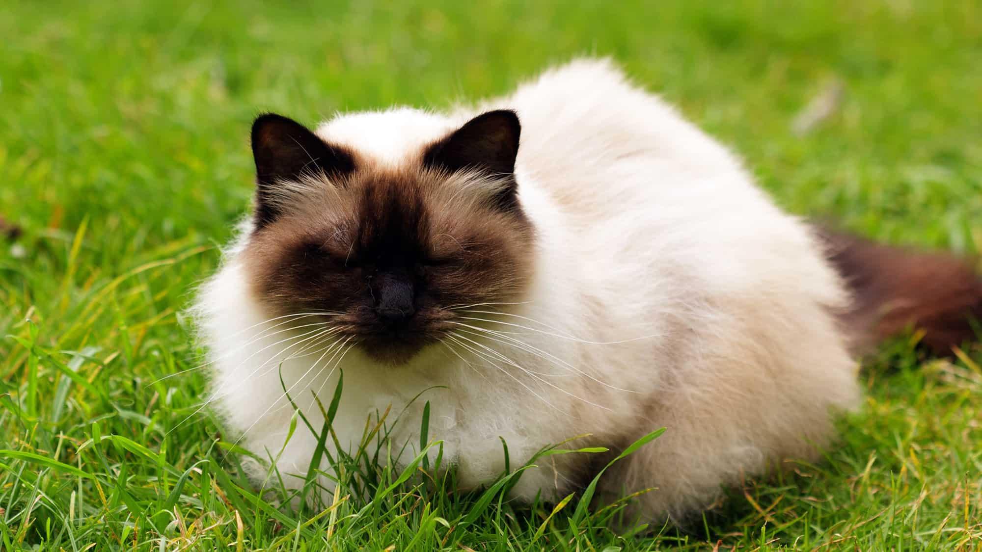 Himalayan cat - 2