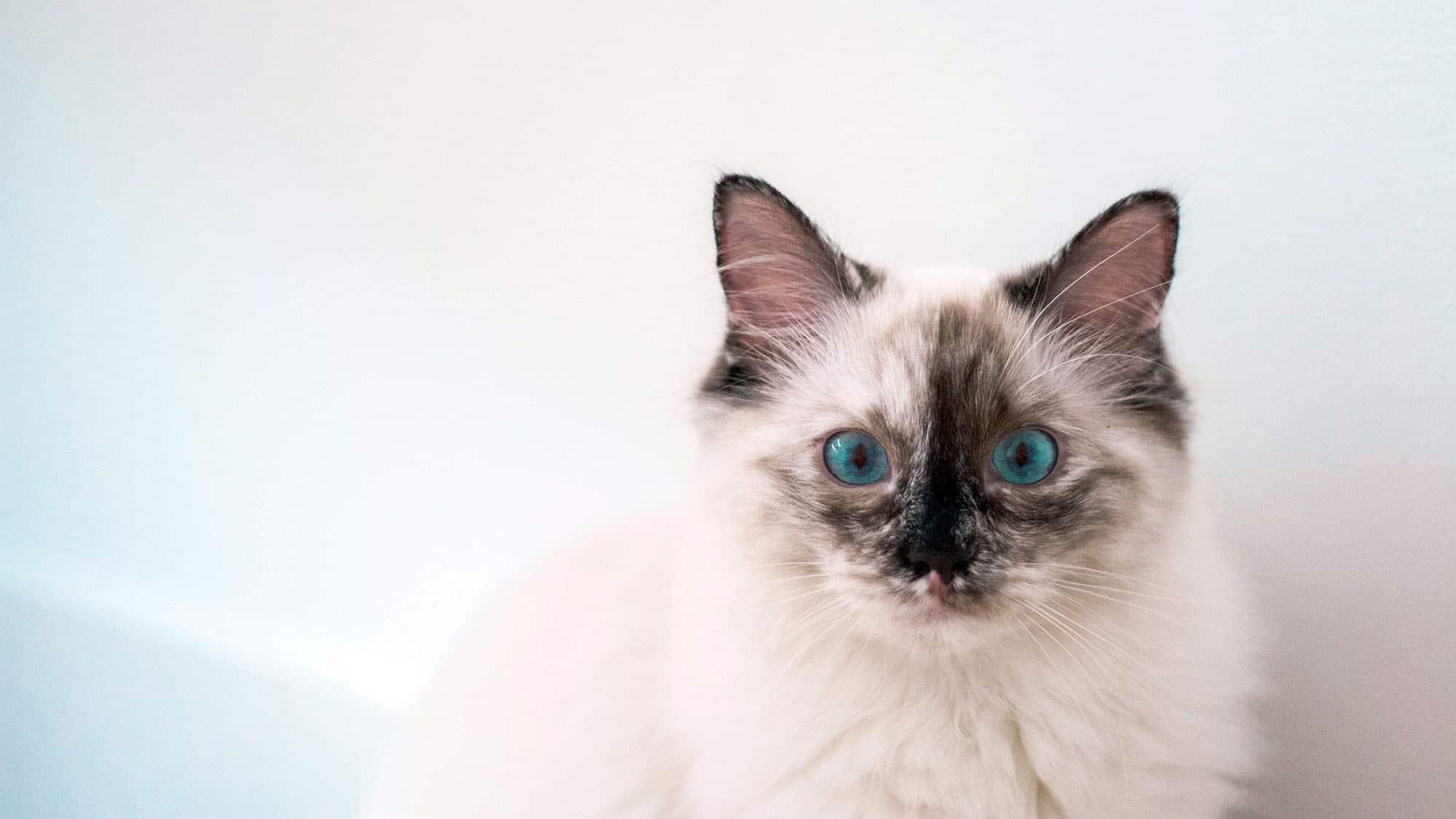 Himalayan cat - 3