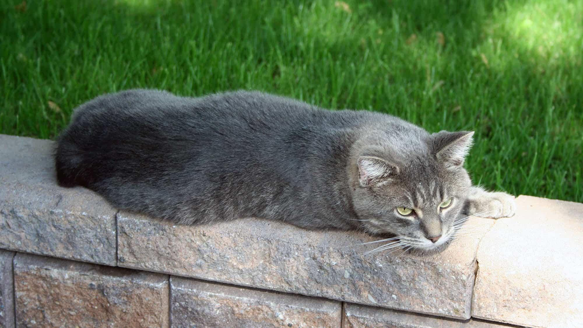 Manx cat - 1