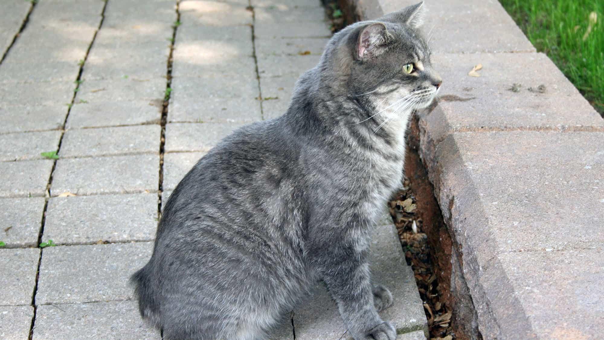 Manx cat - 2