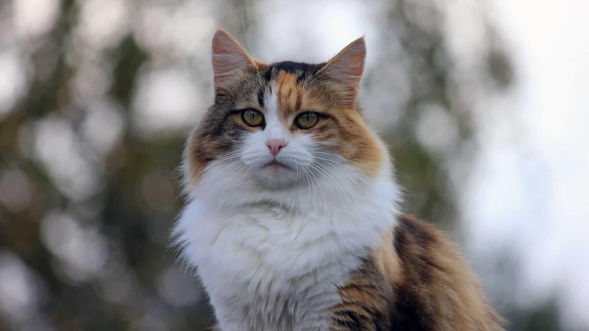 Manx cat - 3