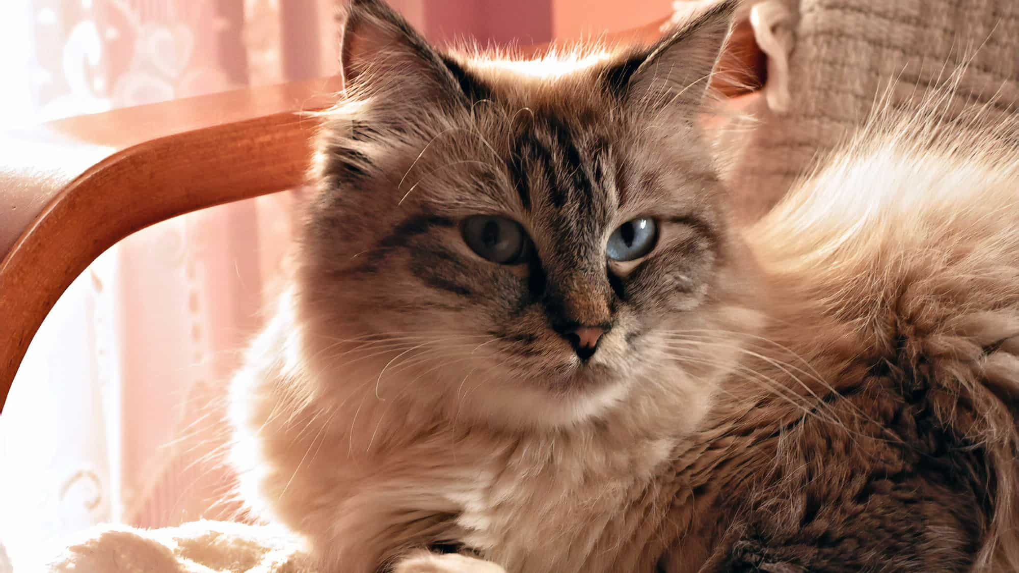Siberian cat - 1