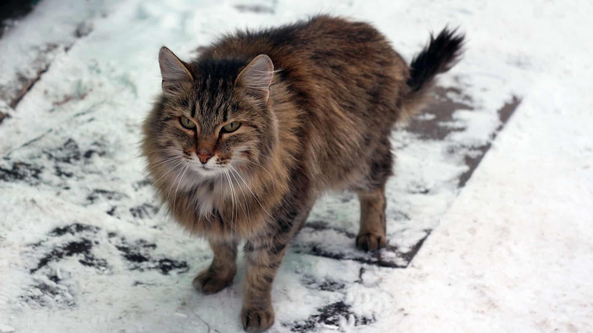 Siberian cat - 2
