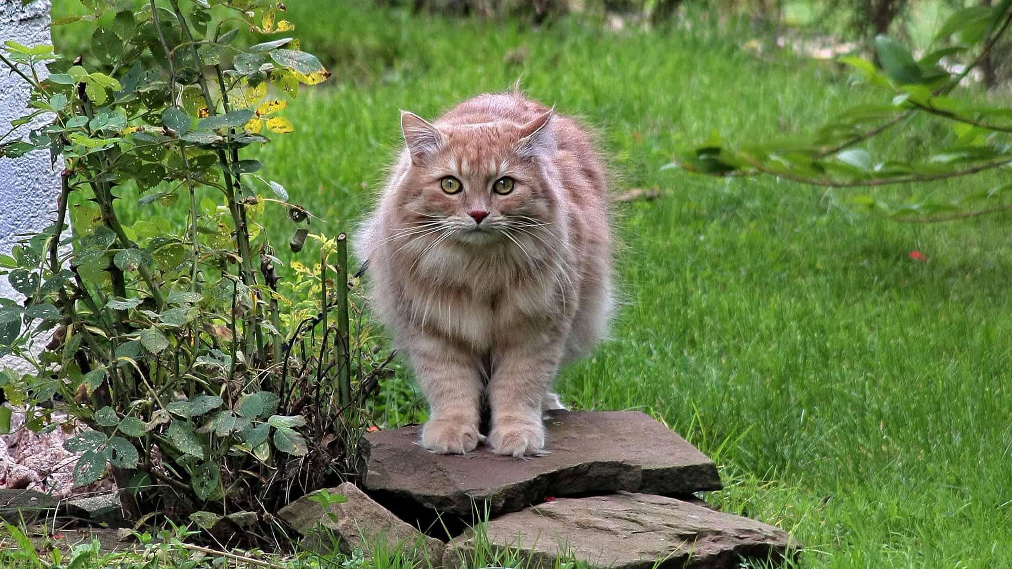 Siberian cat - 3
