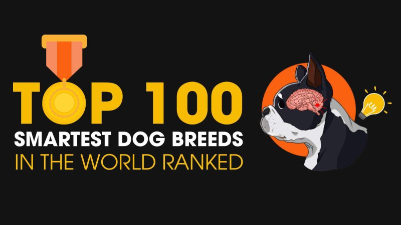 Top 100 Smartest Dog Breeds In The World Ranked